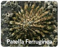 Patella Ferrugínea