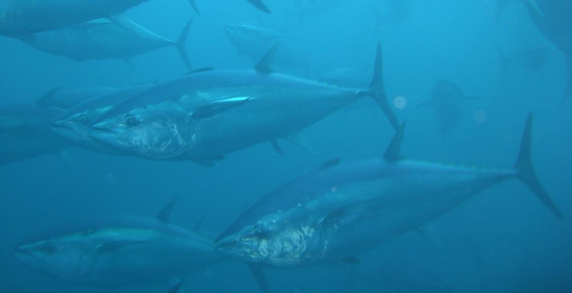 España presenta a la Comisión Europea el Plan de Capacidad para la campaña de pesca de atún rojo 2016