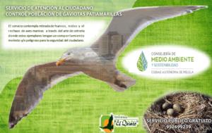 Control de población de gaviotas patiamarillas
