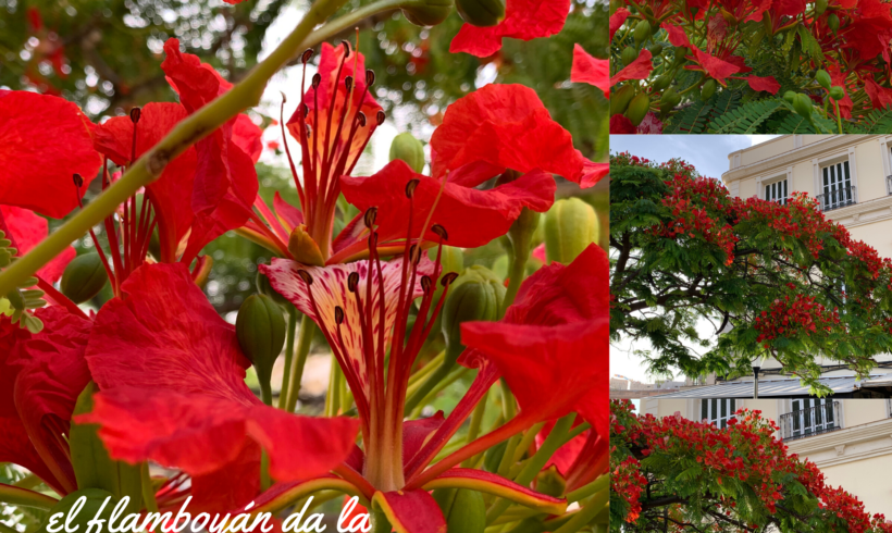 El Flamboyán dice adiós a la primavera y da la bienvenida al verano con una cascada de flores